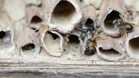 Wilde alleine Bienen osmia bicornis, die auf Insektenhotel am Frühjahr verbinden stock video footage