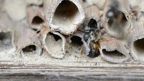 Wilde alleine Bienen osmia bicornis, die auf Insektenhotel am Frühjahr verbinden stock video