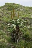 Wilde Aloe Lizenzfreie Stockbilder