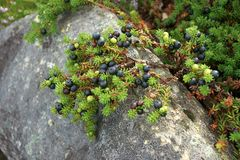 Wilde alpiene dwerg zwarte crowberry struik Royalty-vrije Stock Fotografie