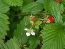 Wilde alpine Erdbeere Stockbilder