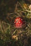 Wilde amanietmuscaria royalty-vrije stock afbeeldingen