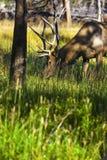 Wilde Amerikaanse elanden Stock Afbeelding