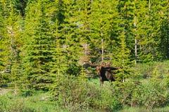 Wilde Amerikaanse elanden Stock Foto's