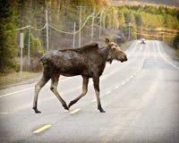 Wilde Amerikaanse elanden Royalty-vrije Stock Foto