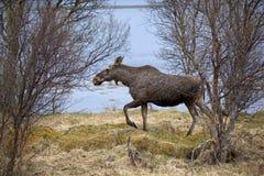 Wilde Amerikaanse elanden Stock Fotografie