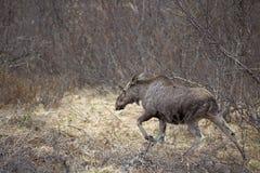 Wilde Amerikaanse elanden Stock Afbeeldingen