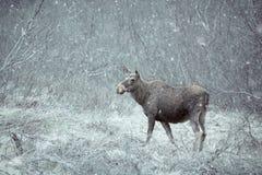 Wilde Amerikaanse elanden Stock Foto