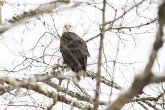 Wilde Amerikaanse kale adelaarszitting op een tak in het bos Stock Foto's