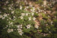 Wilde Anemonennemorosa oder -Buschwindröschenblumen Stockfoto