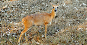 Wilde antilope Stock Fotografie
