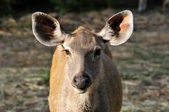 Wilde antilope Royalty-vrije Stock Foto's