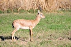 Wilde antilope Stock Afbeeldingen