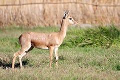 Wilde antilope Royalty-vrije Stock Afbeeldingen