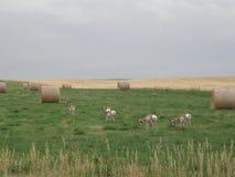 Wilde Antilope, die auf dem Gebiet weiden lässt Lizenzfreie Stockfotos