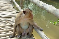 Wilde apen op aapeiland Stock Afbeelding