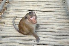 Wilde apen op aapeiland Royalty-vrije Stock Fotografie