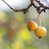 Wilde appelen op de boom Stock Afbeeldingen