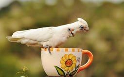 Wilde australische Weißhaubenkakadufütterung der Nahaufnahme stockfotografie