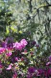 Wilde azalea Stock Fotografie
