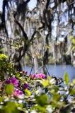 Wilde azalea's in het moeras Royalty-vrije Stock Foto