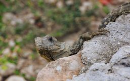 Baby rock iguana. Wilde baby rock iguana Cyclura in the Isla Mujeres `Women Island`. Cyclura is a genus of lizards in the family Iguanidae. Member species of royalty free stock images