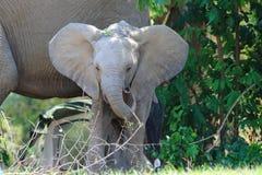 Wilde babyolifant royalty-vrije stock afbeelding