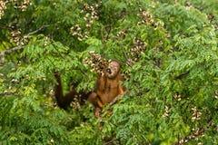 Wilde Babyorangoetan die Rode Bessen in Forest Of Borneo Malaysia eten royalty-vrije stock afbeeldingen