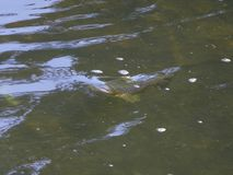 Wilde Bachforelle/Salmo trutta, das eine Fliege im Fluss nimmt lizenzfreie stockfotos
