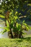 Wilde Banane Stockbild