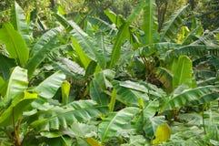 Wilde Bananen lizenzfreie stockbilder