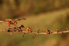 Wilde Beeren auf einem Zweig im Fallhintergrund Stockbild