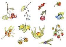 Wilde Beeren im Aquarell Stockbilder