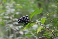 Wilde Beeren sind reif lizenzfreie stockbilder