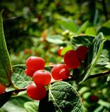 Wilde Beeren Wisconsins Stockfoto