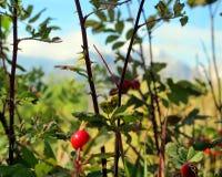 Wilde Berg Rose Bush Foliage met Blauwe Hemelachtergrond stock foto's