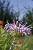 Wilde Bergamotte (Monarda clinopodia) Stockfotos