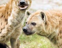 Wilde beschmutzte Hyänen Lizenzfreie Stockbilder