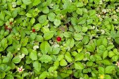 Wilde bessen in het bos Stock Foto's