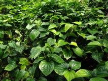 Wilde Betal leafbush, Piper Sarmentosum-boom royalty-vrije stock foto's