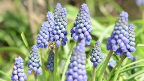 Wilde bicornis van bijenosmia op blauwe de bloembloesem van de druivenhyacint op de lente stock videobeelden