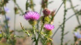 Wilde Biene auf einer violetten Agrimonyblume stock footage