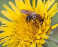 Wilde Biene bei der Arbeit Stockfotos