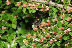 Wilde Bienen sind alle Bienenspezies Superfamily Lizenzfreie Stockfotos