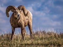 Wilde Big Hornschapen in Zuidelijke Alberta Stock Afbeelding