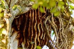 Wilde bijenbijenkorf Stock Fotografie