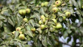 Wilde Birne mit betroffener Kruste der Frucht stock video