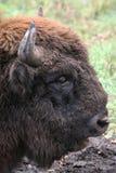 Wilde bizon Royalty-vrije Stock Afbeeldingen