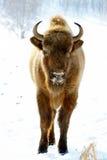 Wilde bizon Royalty-vrije Stock Afbeelding