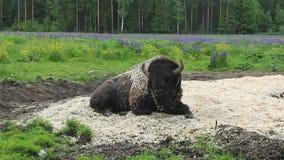 Wilde bizon in aard stock video